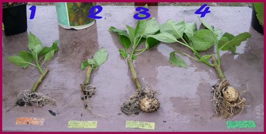How do you make homemade rooting hormone?