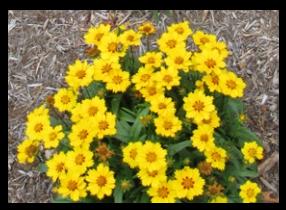 Trumpetflowersflorida native perennials lanceleaf mightylinksfo
