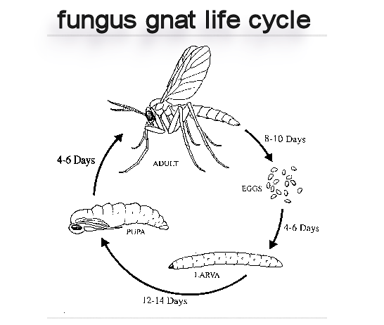 Fungus gnats life cycle related keywords fungus gnats for Soil life cycle