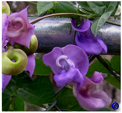 Trumpetflowerscaresheet for phaseolus purple snail vine purple snail vine publicscrutiny Gallery