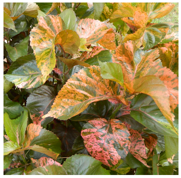 Trumpetflowerscomcare And Grow Acalypha