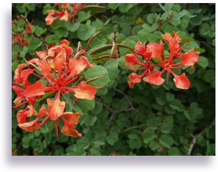 Trumpetflowerscare and grow orchid trees or bauhinia trees bauhinia mightylinksfo