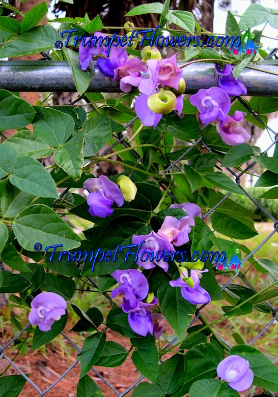 Image result for snail vine arizona