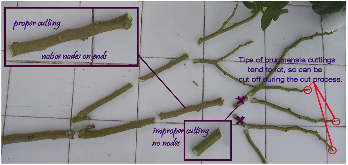 Trumpetflowerscomhow To Properly Take Plant Stem Cuttings How To