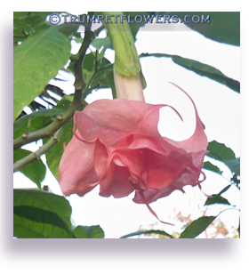 Angel Trumpet Flower on Trumpetflowers Com   Place Your Brugmansia In The Ground