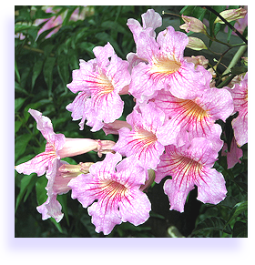 Trumpetflowers how to grow st johns creeper pink trumpet the pink trumpet mightylinksfo