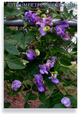 Trumpetflowerscaresheet for phaseolus purple snail vine more info publicscrutiny Gallery